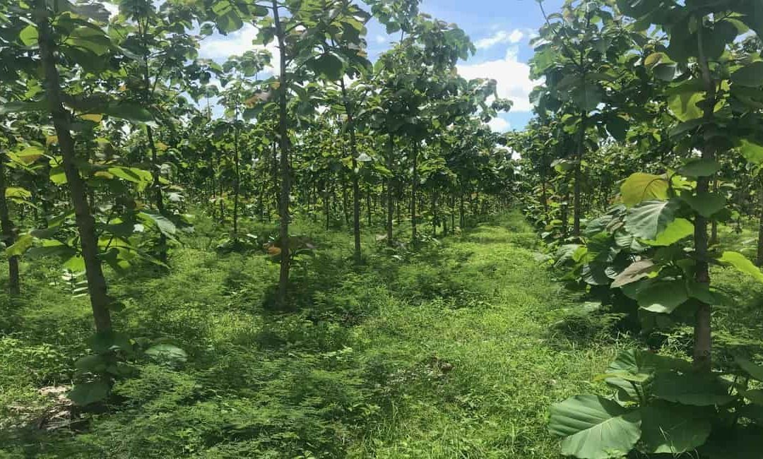 Investing in a Teak Wood Plantation, is it worth it?